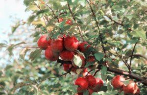 apple-branch-crop-635705